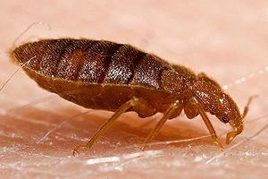Bed Bugs Removal - Get Rid of Bed Bugs