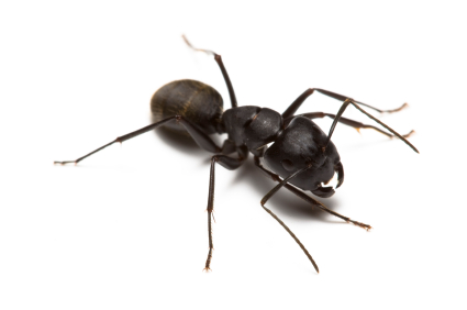Carpenter Ants Control Carpenter Ant Removal