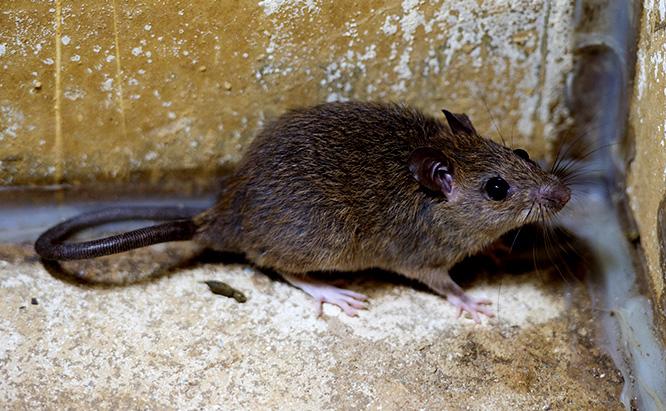 RATS!  It