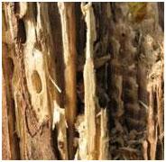 Termites - Dampwood